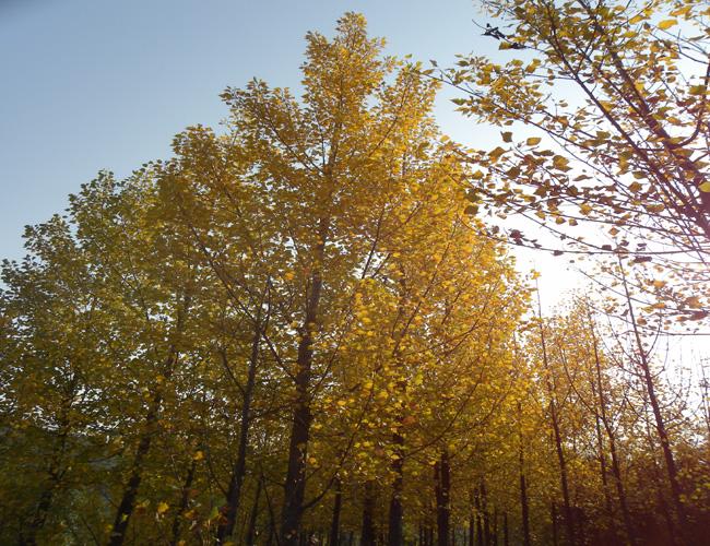 御泉陵园杨树林